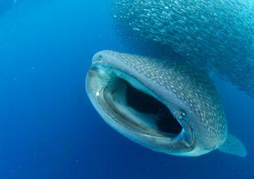 crustáceo Tiburón Ballena