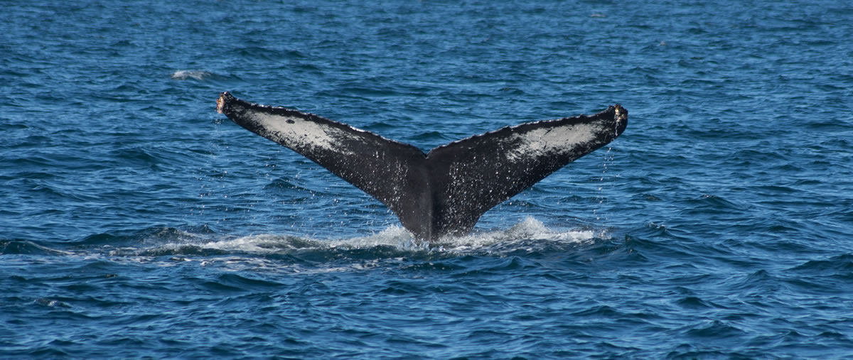 Puerto Vallarta ballena jorobada