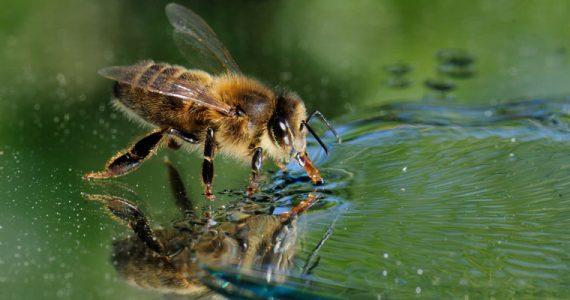abejas surfear agua