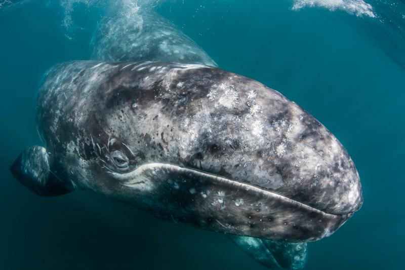 Conanp ballena gris