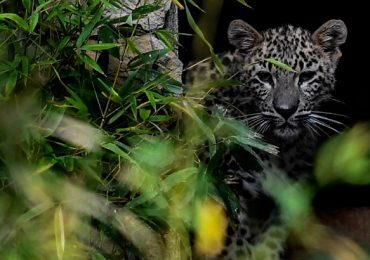 leopardos de Persia