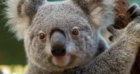 Lewis Koala Australia