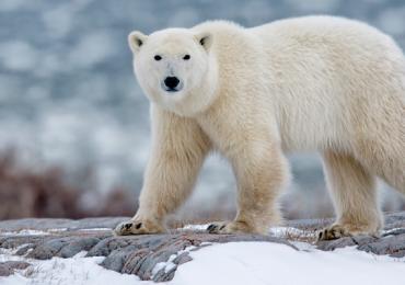 osos polares Ryrkaypiy