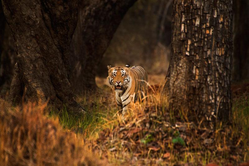 tigres de Malasia