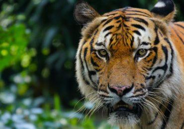 tigres de Malaisa