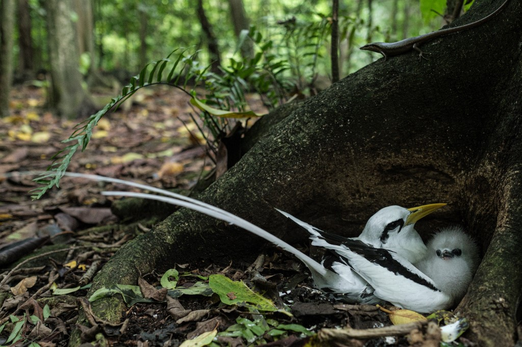 carricero de Seychelles