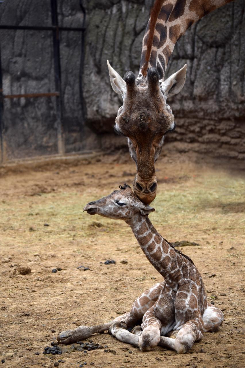 jirafa Zoológico de Chapultepec