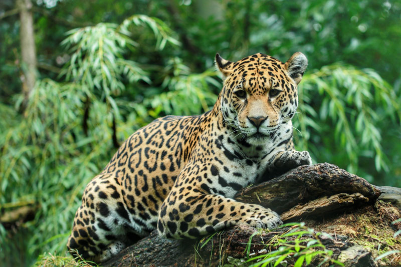 jaguar biodiversidad