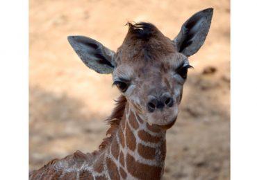 cría de jirafa Zoológico de Chapultepec