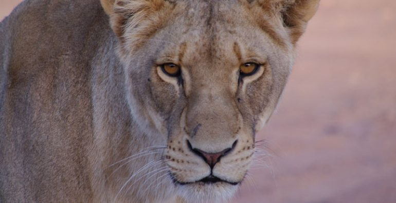 leones leona África Sudán