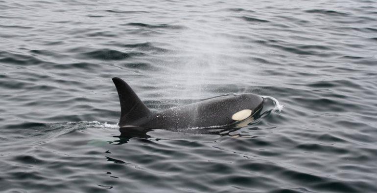 orcas estrecho de Mesina Italia