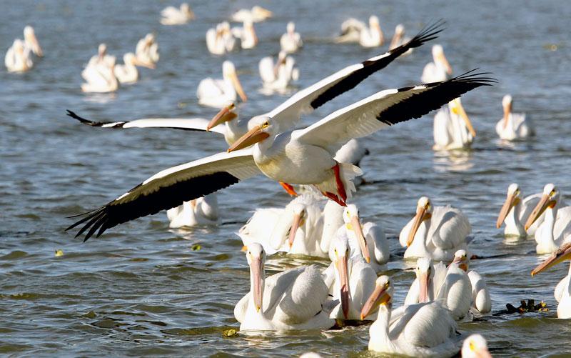 pelicanos borregones
