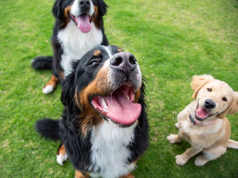 razas perros domésticos