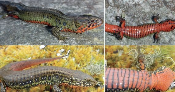 género de lagarto terrestre