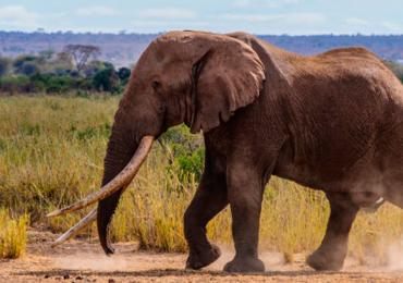 Tim elefante