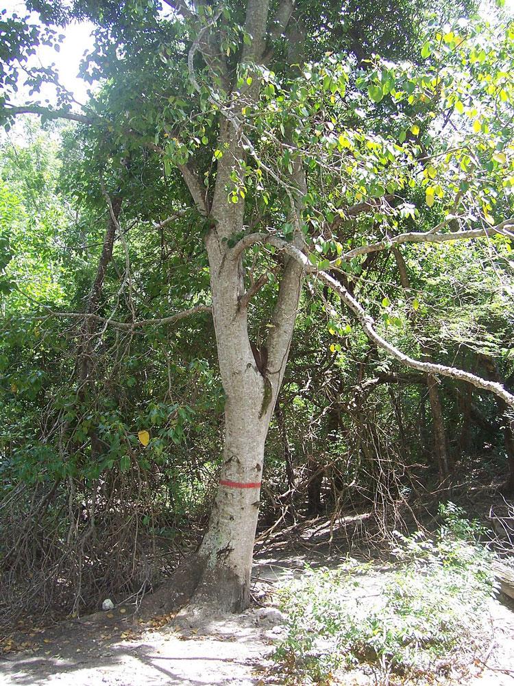 árbol de la muerte