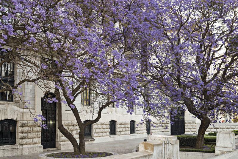Palacio de Bellas Artes jacarandas