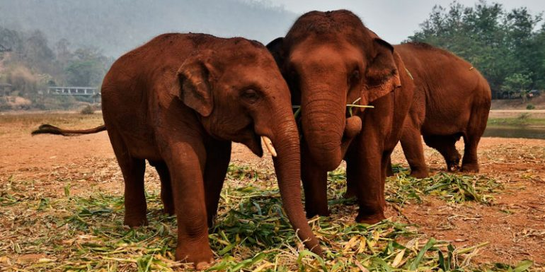 Tailandia elefantes