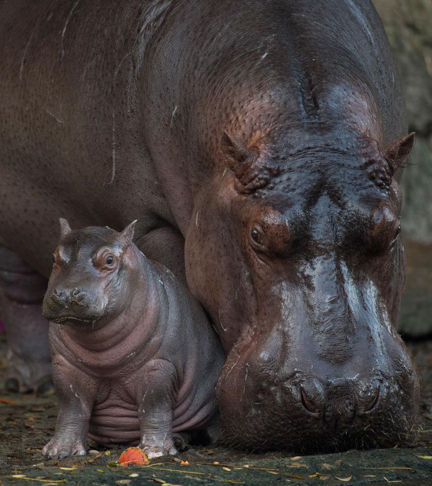 Augustus hipopótamo Animal Kingdom