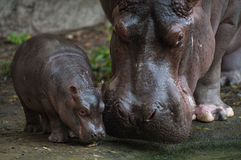 Augustus hipopótamo