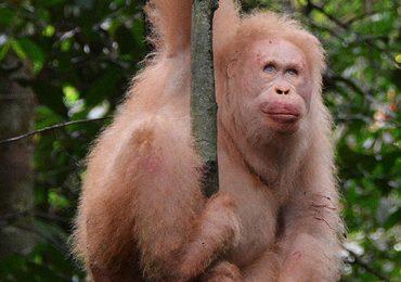 Alba orangután albino