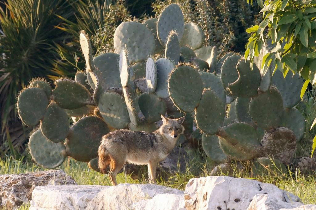 Parque Yarkon chacal cactus Israel Tel Aviv