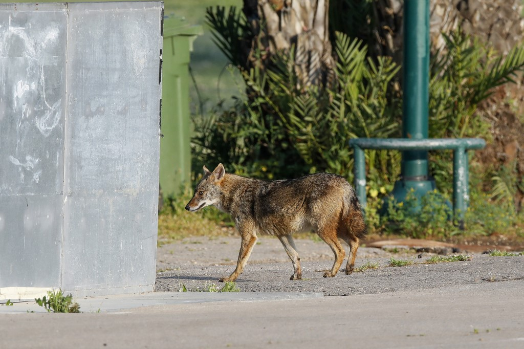 chacal Israel Tel Aviv parque animal