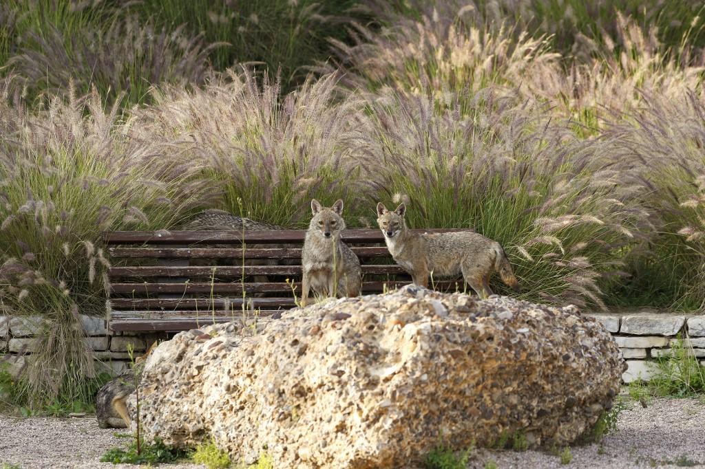 chacales Israel Tel Aviv cuarentena animales