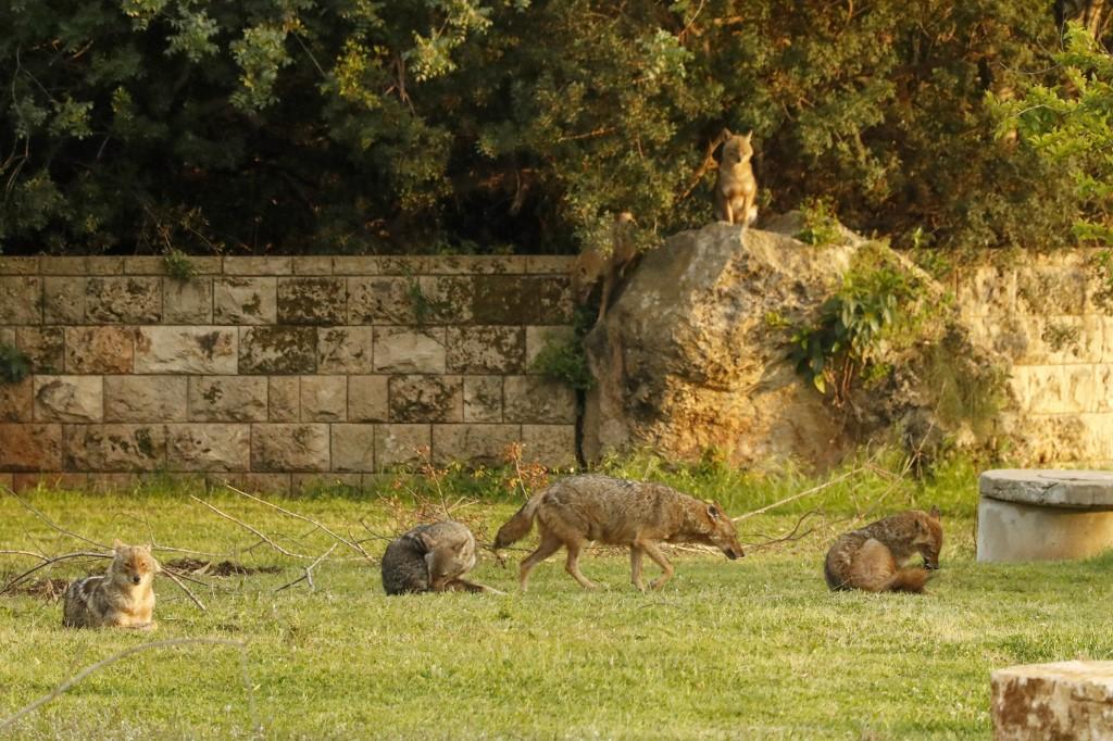 chacales manada pasto Tel Aviv Israel