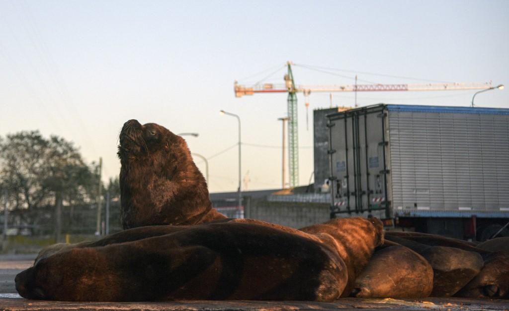 lobo marino Argentina Mar del Plata coronavirus