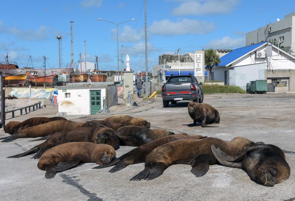 lobos marinos calles Mar del Plata Argentina