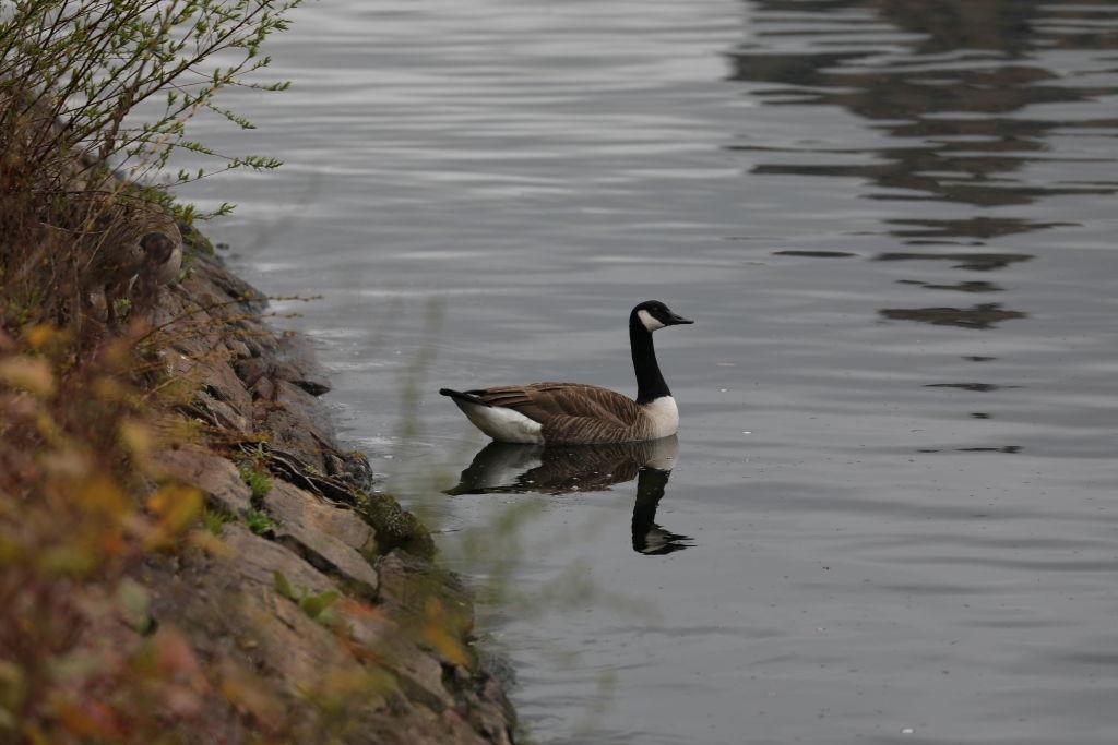 ganso aves Nueva York lago Manhattan