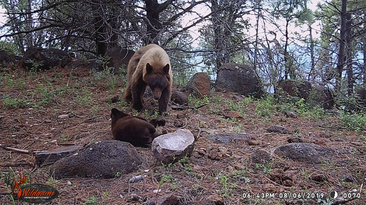 oso negro americano México Chihuahua