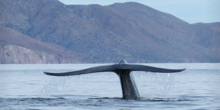 ballena azul Bahía de Loreto Baja California Sur