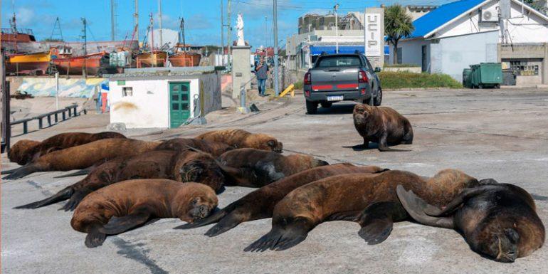 lobos marinos Argentina Mar del Plata coronavirus
