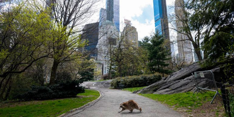 Central Park Nueva York mapache animales Manhattan