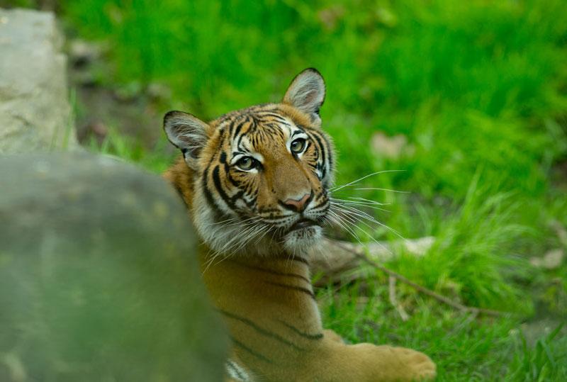 Bronx tigre coronavirus