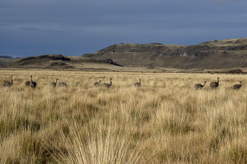 Patagonia Chile Aves ñandúes