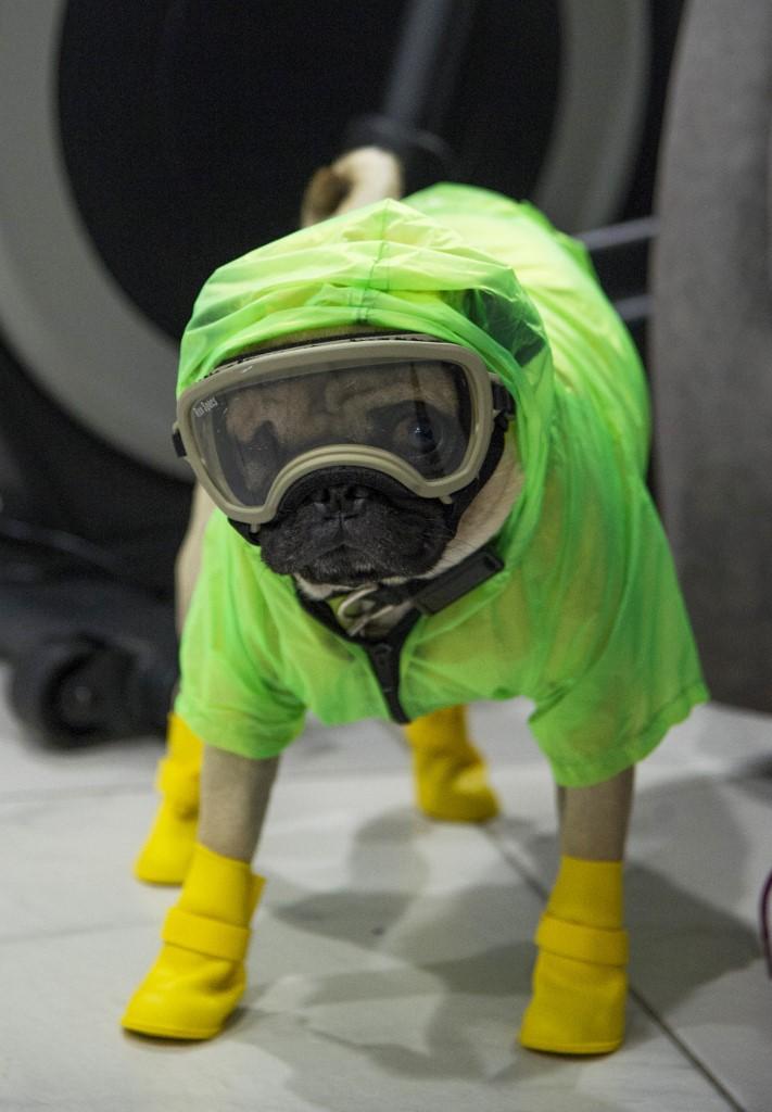 perro pug Ciudad de México coronavirus