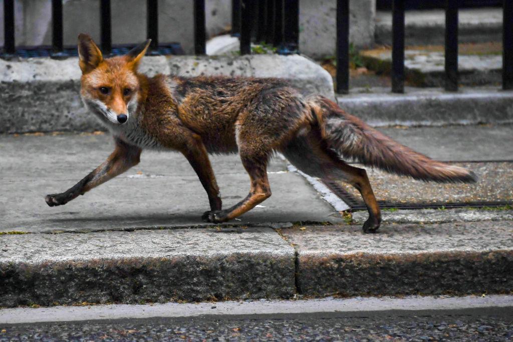 zorro Londres calles Downing Street
