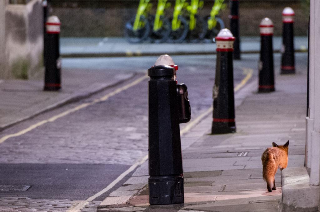 zorro Londres calles Inglaterra