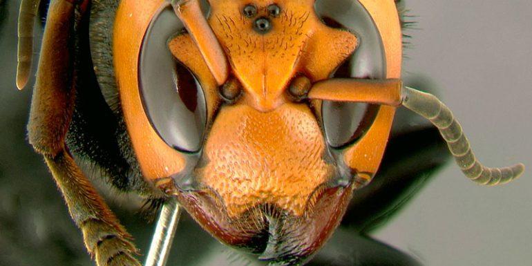 avispones asesinos Estados Unidos abejas