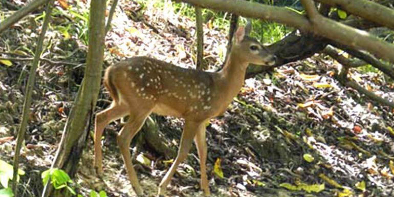 COVID-19 biodiversidad animales ciervo