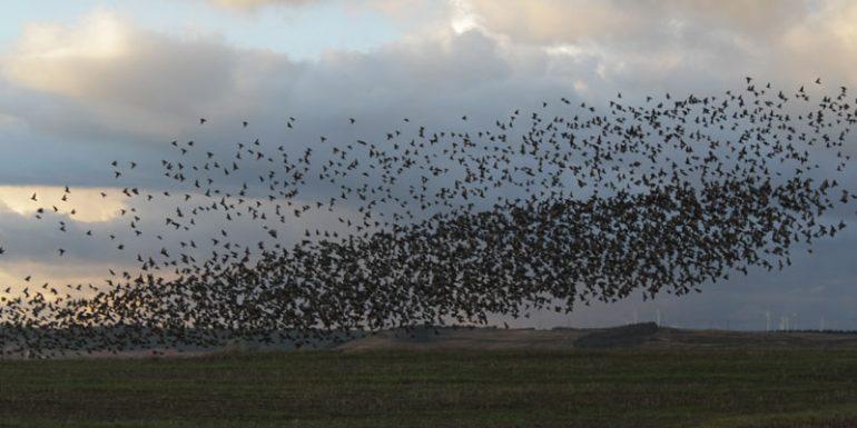 estorninos estornino pájaros