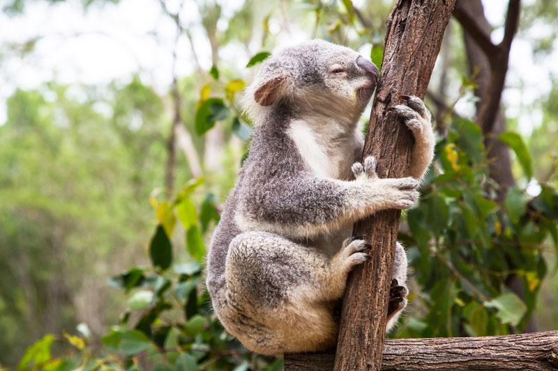 Koalas agua Unión Internacional para la Conservación de la Naturaleza