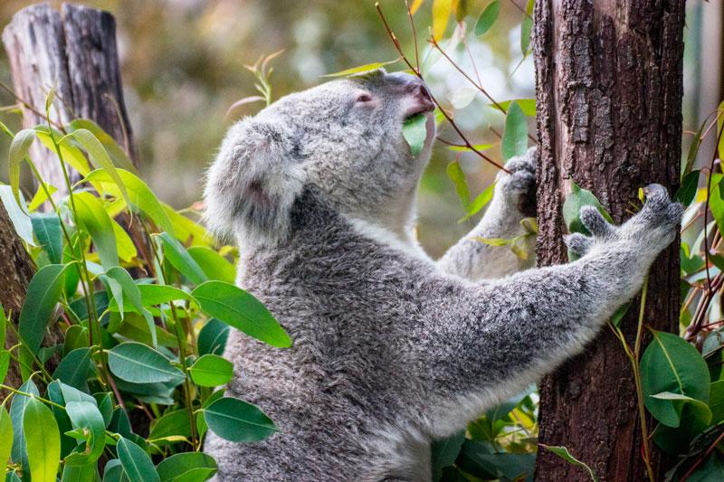 Australia Koalas árboles árbol agua tronco