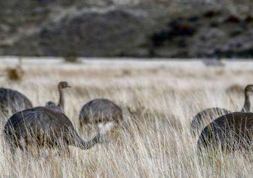 ñandú Patagonia Chile aves ñandúes