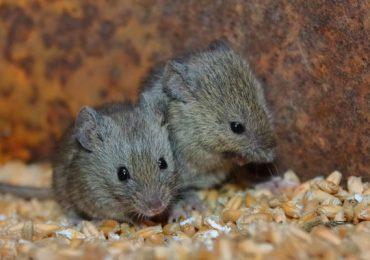ratón ratones humanos gatos