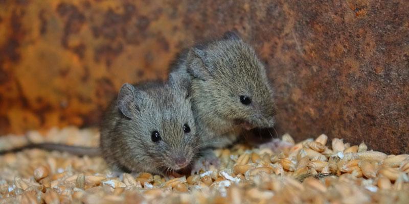 El ratón se aprovechó de los humanos para propagarse alrededor del mundo - National Geographic en Español