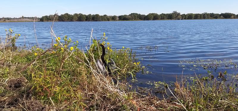 aninga americana Florida aves reserva naturaleza Circle Be Bar